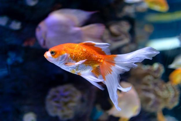 황금 물고기
