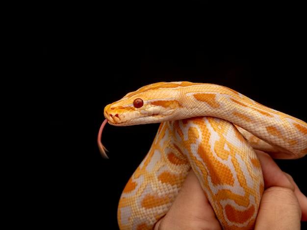 ゴールドパイソン、アミメニシキヘビ(アミメニシキヘビ)。 Premium写真