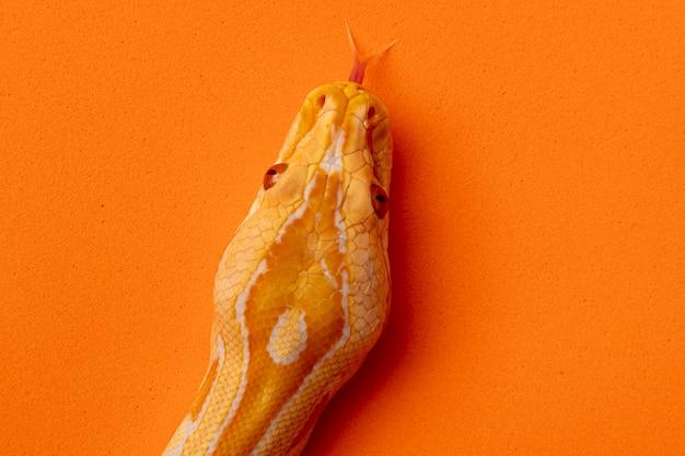 ゴールドパイソン、アミメニシキヘビ(アミメニシキヘビ)。