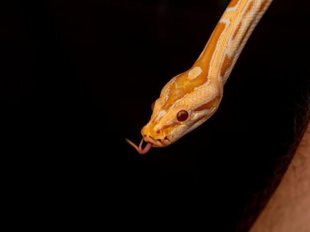 Gold python, reticulated python(python reticulatus).