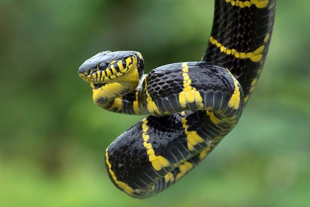 守備位置にある金の輪の猫のヘビ