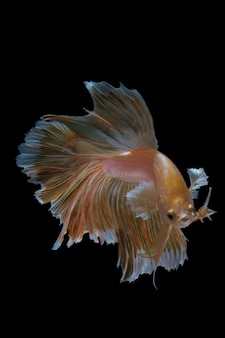 Gold siamese fighting fish on black background