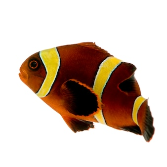 Gold stripe maroon clownfish - premnas biaculeatus on white