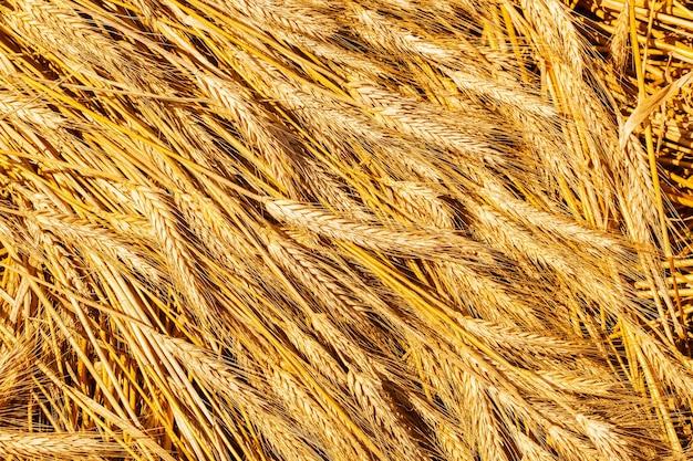 ゴールドウィートフィールド。美しい自然の風景。牧草地の麦畑の穂の成熟の背景。
