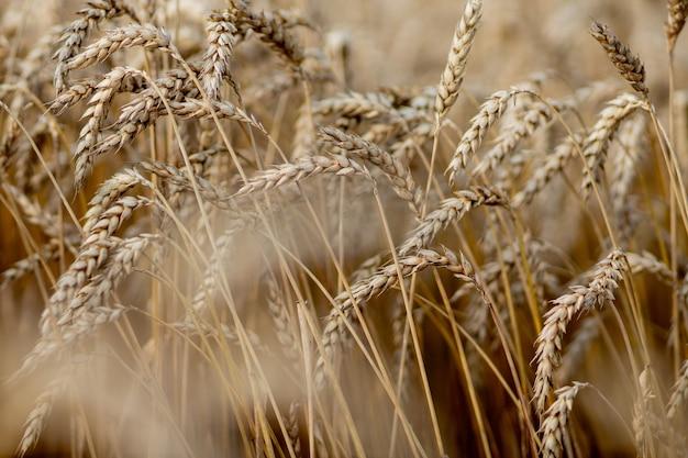 ゴールド麦畑。美しい自然の日没の風景。牧草地の麦畑の耳を登熟の背景。偉大な収穫と生産的な種子産業の概念。