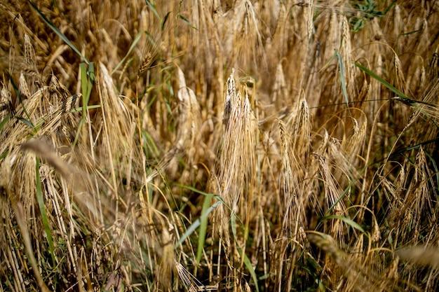 ゴールドウィートフィールド。美しい自然の夕日の風景。牧草地の麦畑の穂の成熟の背景。豊作と生産性の高い種子産業の概念。