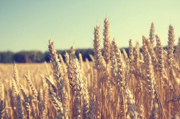 Gold wheat field and blue sky. wheat, rye, cereals field sunny day, banner with space for text, background background for publications