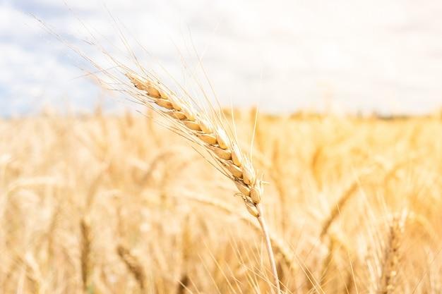 Gold wheat field blue sky