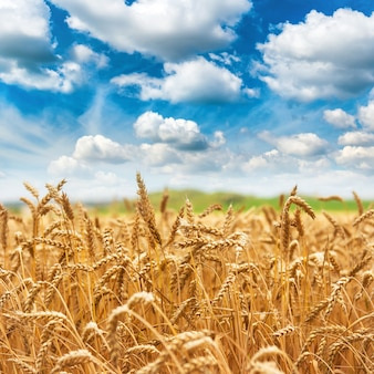 金麦畑の新鮮な作物と雲と青い空