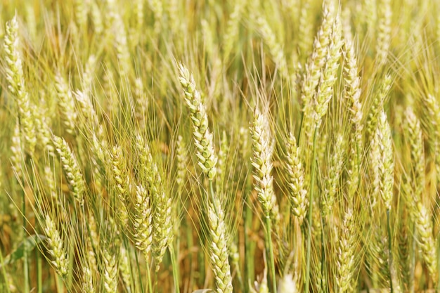 Gold wheat on field in rays of sun. sunshine and ears of wheat. rich harvest concept.