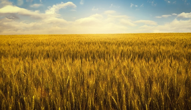 Gold wheat field at sunset, rural countryside