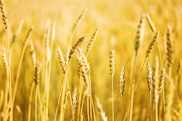 Gold wheat on field in warm sunlight. sunshine and ears of wheat. rich harvest concept.