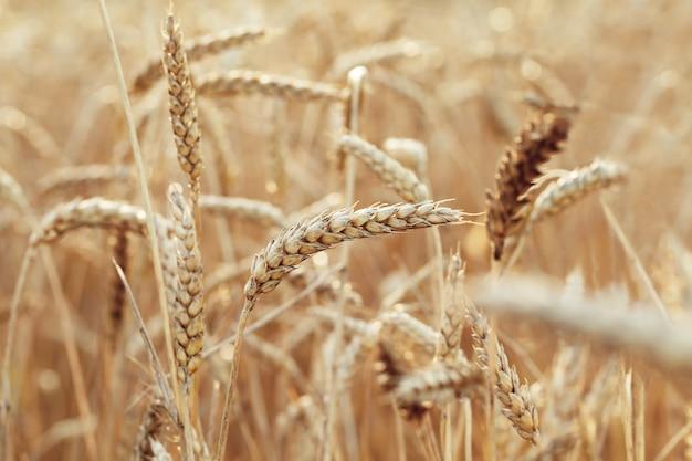 따뜻한 햇빛에 들판에 있는 금밀과 밀의 귀 풍부한 수확 개념