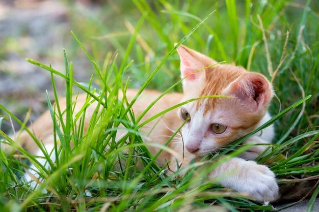 Золотой белый пушистый котенок отдыхает на газоне