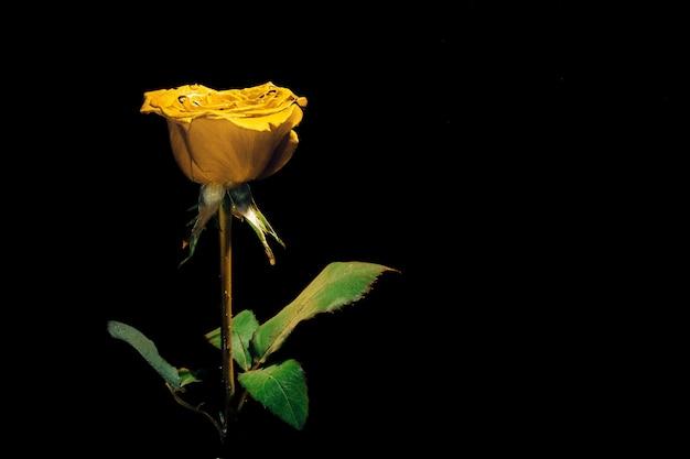 Золотая желтая роза на черном под водой