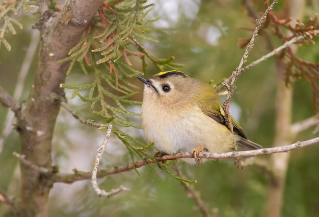 Goldcrest sits on a thin branch of a thuja