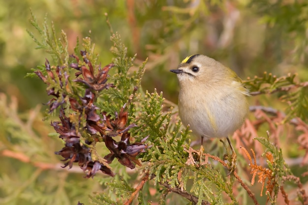 Goldcrest the smallest bird in europe sits on a thuja branch