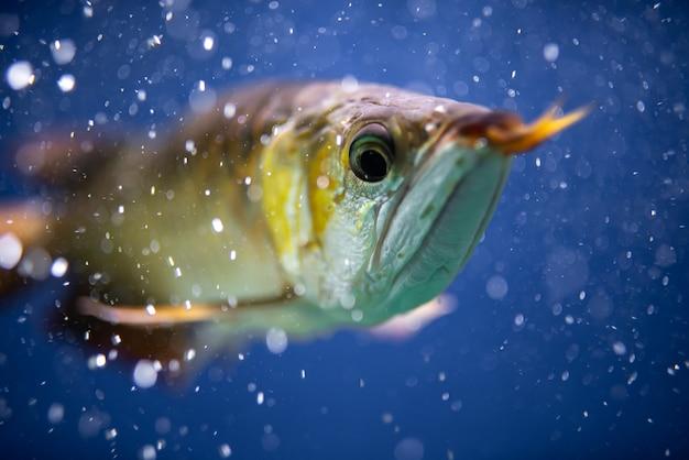 파란색 배경에 격리된 어항에 있는 황금 아로와나 물고기 또는 용 물고기