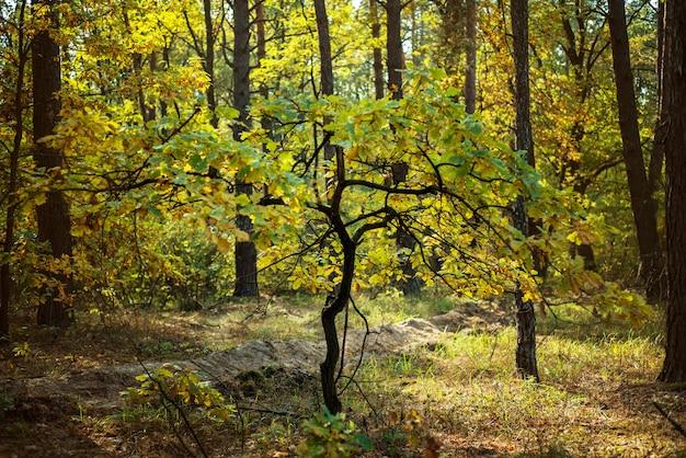 황금가 숲 배경, 가을 숲에서 노란 나무