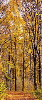 Golden autumn in the forest. yellow and orange trees in the forest