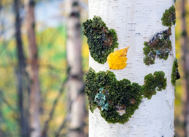曇りの日の白樺林の黄金の秋。