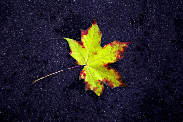 Golden autumn. multicolored maple leaves lie on the ground