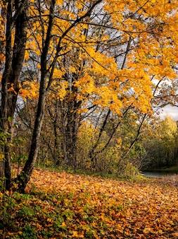 黄金の秋、晴れた日に駐車してください。明るい自然の晴れた秋の黄色いカエデの木。垂直方向のビュー。