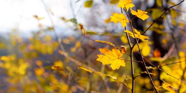 Золотая осень. желтые кленовые листья на молодом дереве в осеннем лесу
