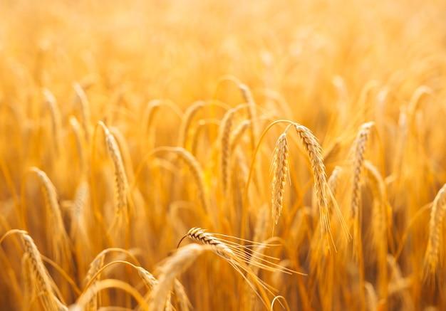 日没時の麦畑の耳を登熟の金色の背景。