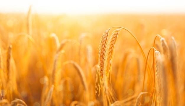 Золотое знамя созревания колосьев пшеничного поля на закате.