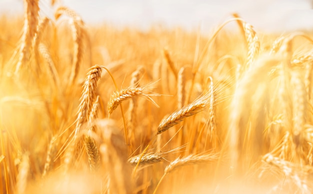 Golden banner of ripening ears of wheat field at sunset.