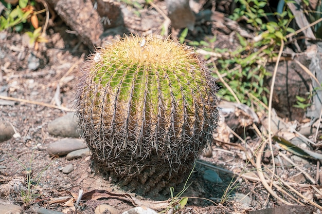 Golden barrel cactus(echinocactus grusonii) in a dryland garden background, close up