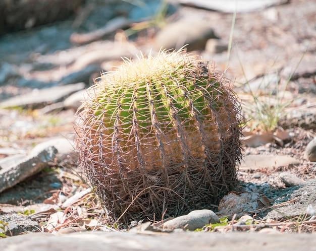 乾燥地の庭の背景にキンシャチ(echinocactus grusonii)、クローズアップ