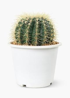 Cactus a botte dorato in un vaso bianco