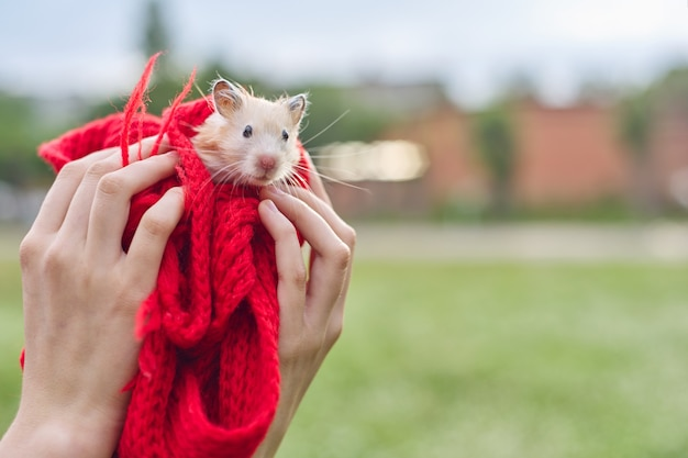 Golden beige fluffy syrian hamster on red knitted in hands of girl, green lawn background, copy space
