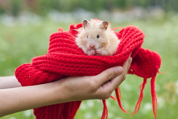 Golden beige fluffy syrian hamster on red knitted in hands of girl, green lawn background