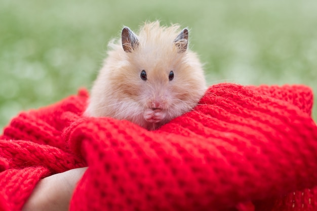 Golden beige fluffy syrian hamster on red knitted in hands