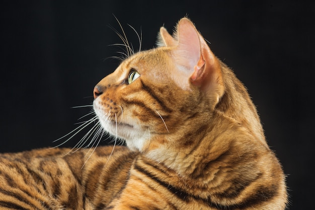 Golden bengal cat on black wall