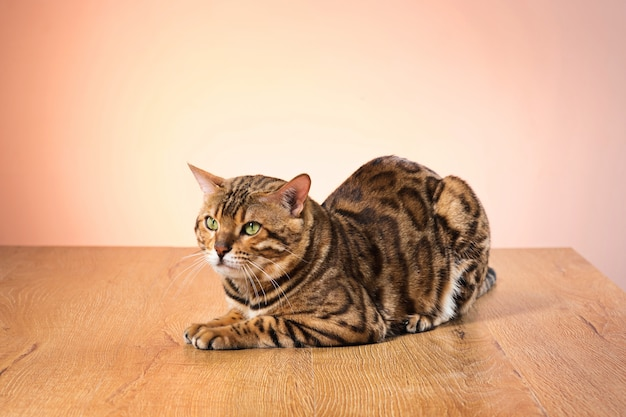 Golden bengal cat on brown