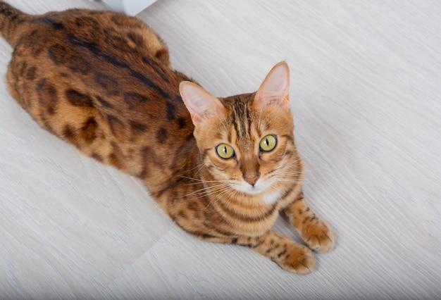 Золотая бенгальская кошка лежит на деревянном полу и смотрит вверх