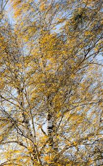 金色の白樺の葉
