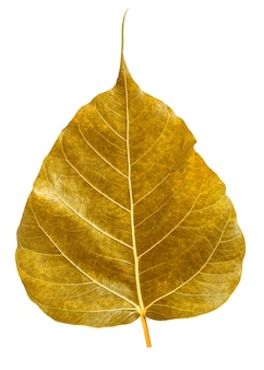 Golden bothi leaf isolated on white background,pho leaf, bo leaf
