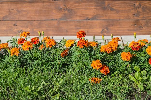 Золотая календула лекарственная или оранжевые цветы календулы и зеленые листья
