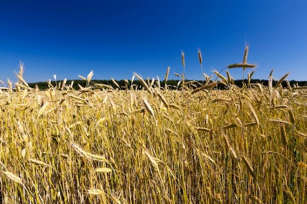 Колосья пшеницы золотистого цвета на фоне голубого неба летом