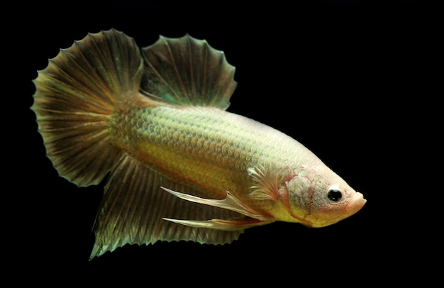 Golden color siamese fighting fish or tradtional plakad gold color on black