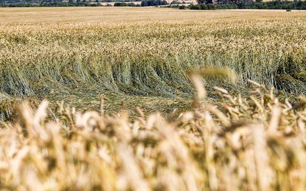 Golden-colored cereals that are already ripe and ready to harvest grain