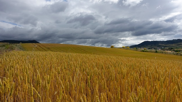 Golden-colored field of wheat under the cloudy sky