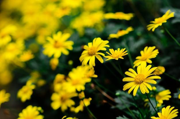 Golden daisy bush