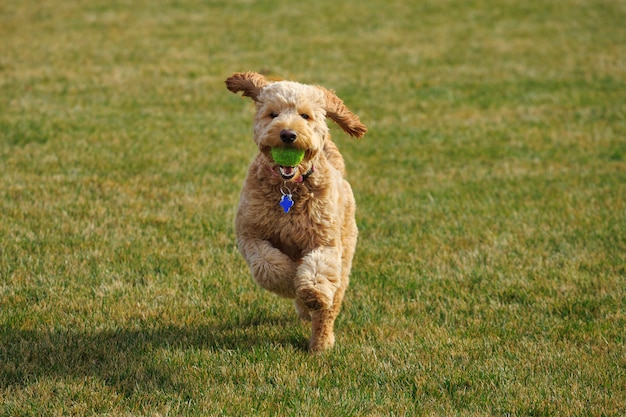 Golden doodle dog with ball