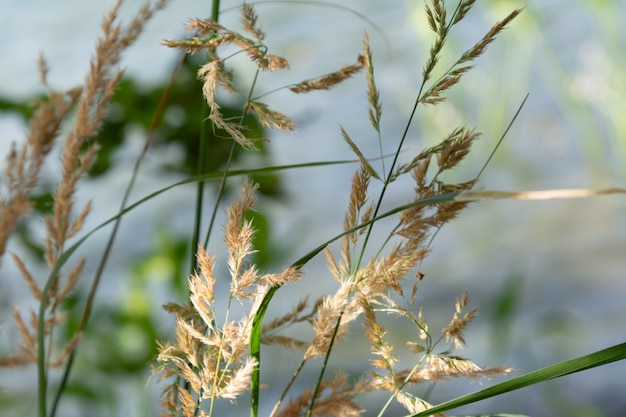 Golden dry grass on the background of water.